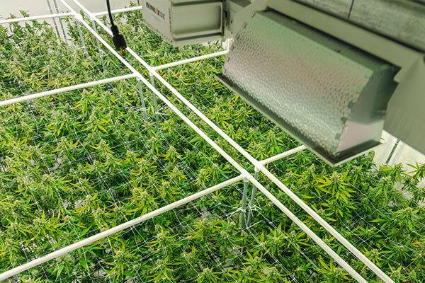 Callout_Cannabis